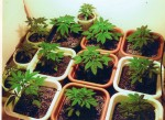 d81940fb17plants.jpg 150x109 Lawmaker Urges Study on Revenue Impact of MJ Sales